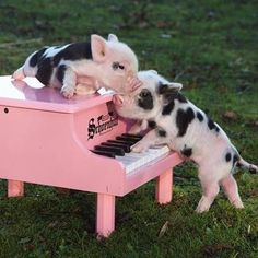 Major Needs of Teacup Pigs